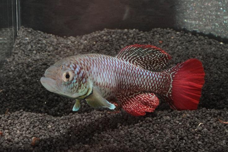 Ve studiu stárnutí pomáhal vědcům halančík, malá ryba žijící vtůních africké savany